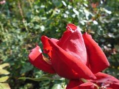3-1379493462-2-rose-garden