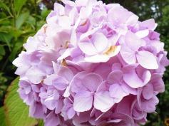 3-1379493462-hydrangea-mums-favourite