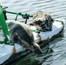 Seals relaxing on the Forth of Firth