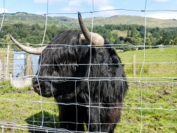 A Hairy Coo